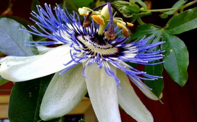 Anxiety Reducing Effects Of Passionflower – How It Works