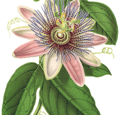 Passionflower – Western Clinical Formulas