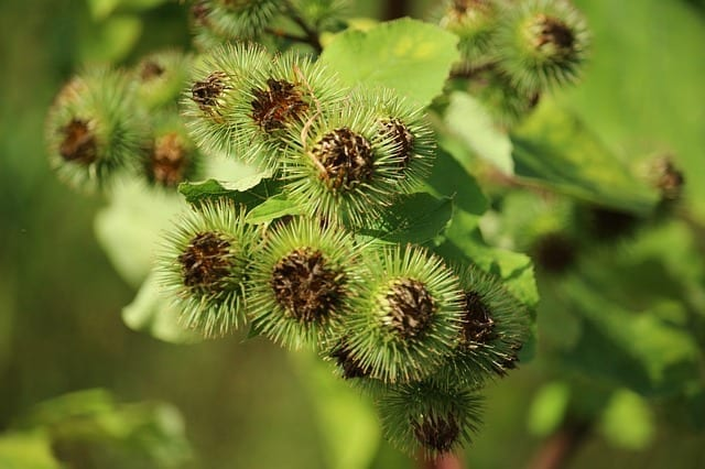 Tonic Value in Burdock – How It Works