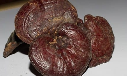 Reishi Energetics, Use: Ling Zhi as Restorative, Tonic, Dissolving