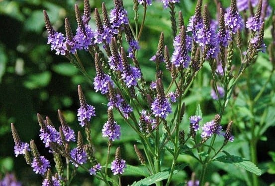 Iridoid Glycosides in Blue Vervain – How It Works