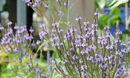 Blue Vervain – Western Clinical Formulas