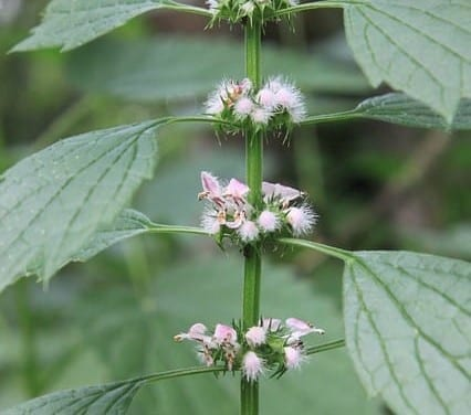 Motherwort – Western Clinical Formulas
