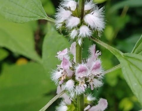 Leonurine in Motherwort – How It Works