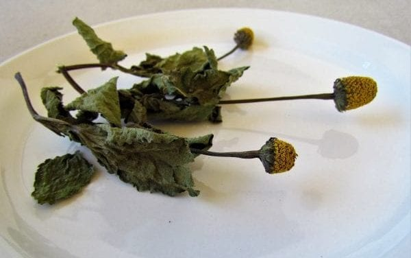 Spilanthol in Spilanthes – How It Works