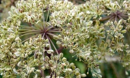 Angelica Energetics: TCM, Ayurveda, Traditional Western Herbalism