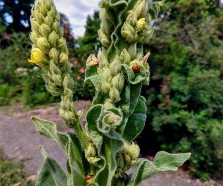 Breath Deep with Cough Reducing Mullein