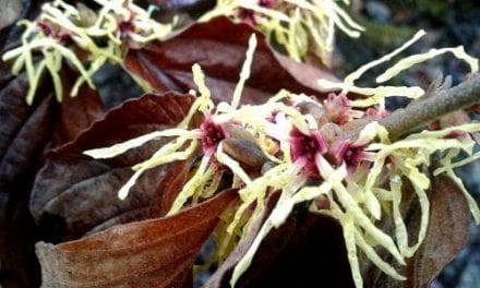 Witch Hazel as an Astringent