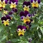 Viola Magic: Magickal Properties and Uses of Violet