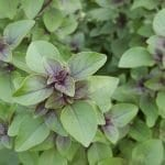 Tulsi Resources: Links, Videos, Learning about Holy Basil